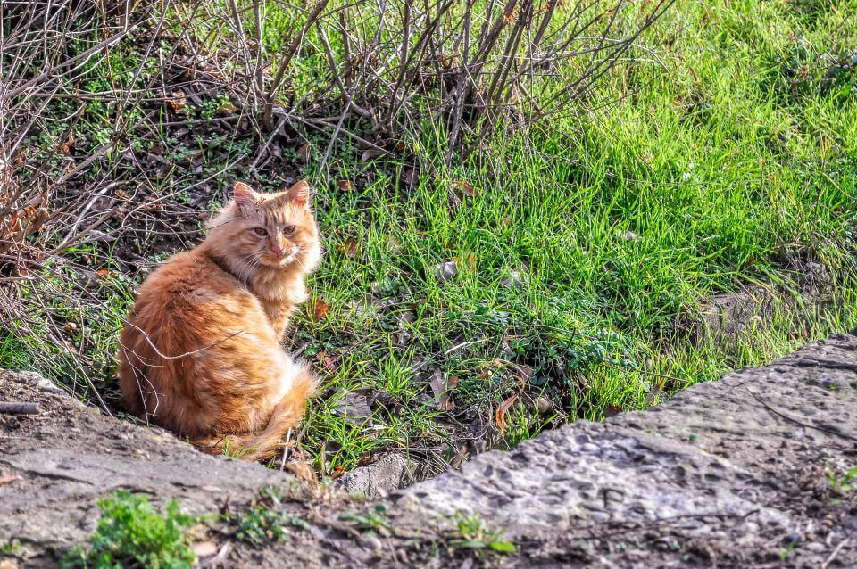 pisica din Silistra